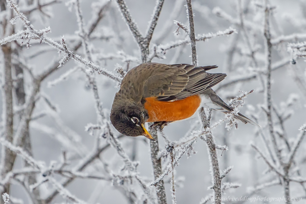 robin - The Best Gloves For Winter Birding and Photography
