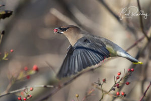 Cedar Waxwing 300x200 - Male Redhead Provides Excellent Views
