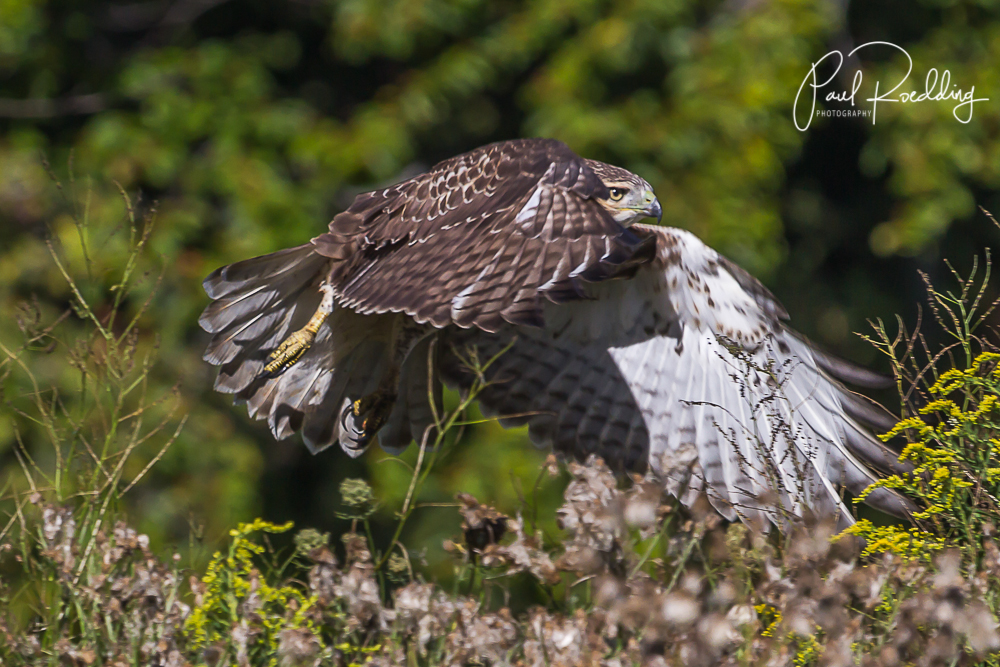 Red Tailed Hawk - 5 Mistakes To Avoid When Photographing Wildlife